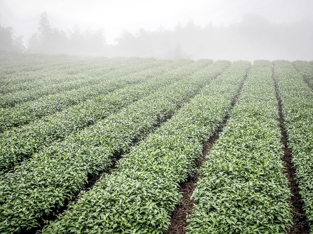 cánh đồng trà Alishan