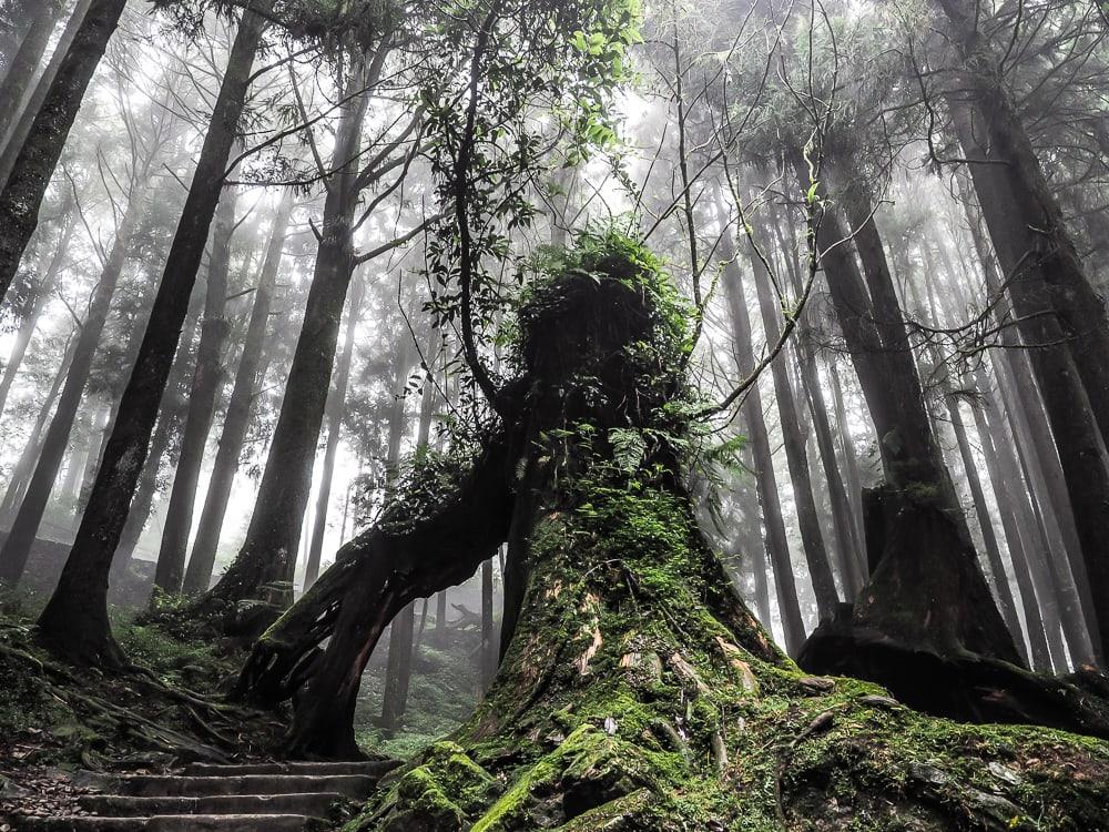 rừng già Alishan