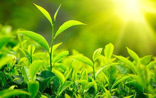 hita chay tac dung cua tra xanh 1 1 Các tác dụng của trà xanh và nên nấu trà xanh như thế nào cho đúng