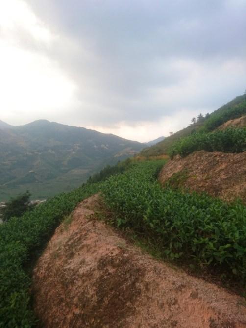 Đất sét là một yếu tố cơ bản và đặc trưng trong việc trồng chè.