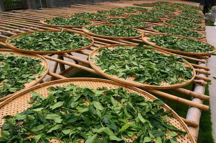 ánh nắng luôn quan trong trong chế biến trà thiết quan âm thanh hương