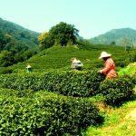 doi tra long tinh 1 Long tỉnh - Thập đại danh trà nổi tiếng