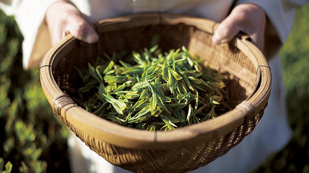 lịch sử trà xanh