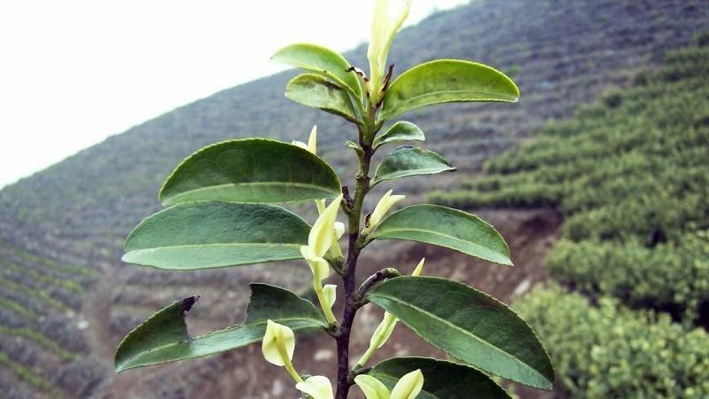 tratrang1 1 Bạch trà - loại trà thuộc đặc quyền của giới quý tộc