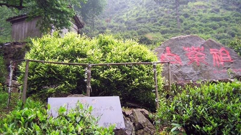 cây trà trắng đã được phát hiện ở An Cát