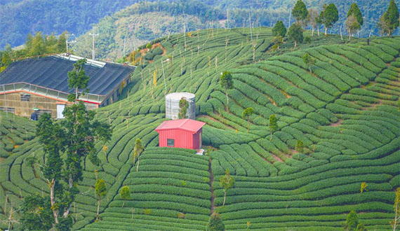 vuon tra 1 Những truyền thuyết liên quan đến Phật giáo về nguồn gốc của trà